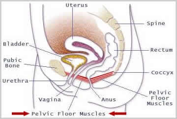 Pelvic floor muscles pc spier vrouwen